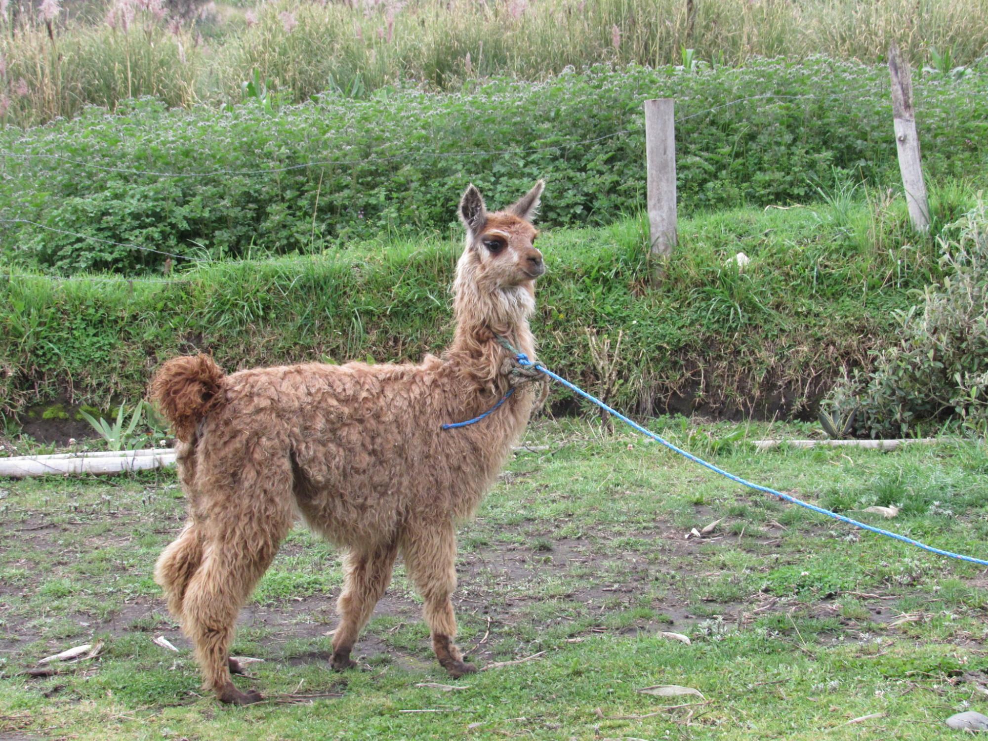 Un lama prenant la pose dans un champ.