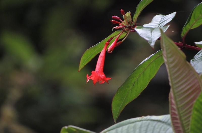 Fleur en jungle équatorienne.