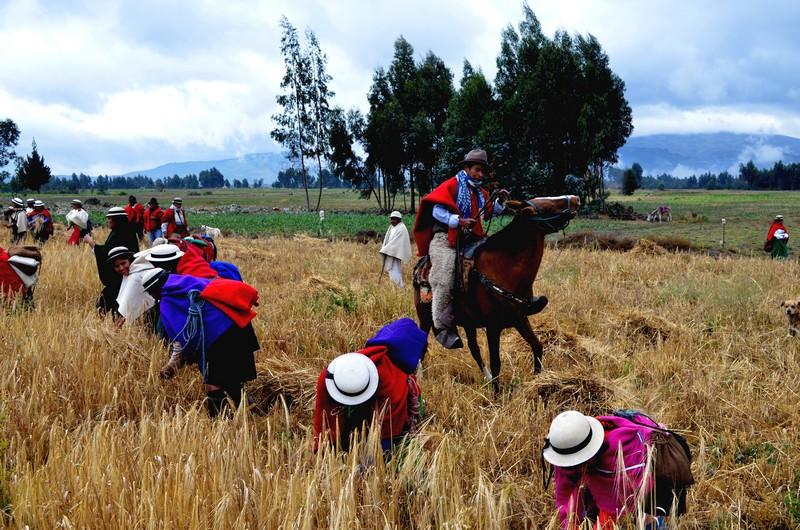 Des femmes récoltent le Quinoa sous la surveillance d'un cavalier de l'Hacianda.