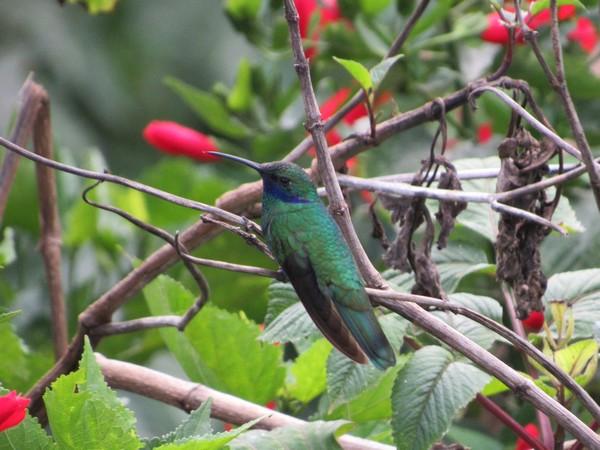 Un colibri.