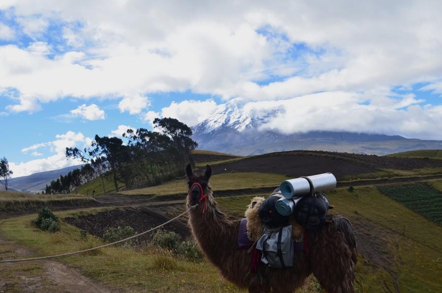 Photo de notre Lama prise aux pieds du Chimborazo.