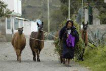 Une femme allant aux champs avec ses lamas.