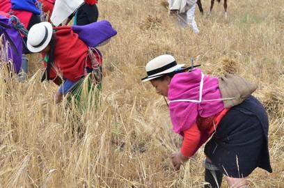 Photo prise lors d'un rassemblement de la communauté pour récolter le mais.