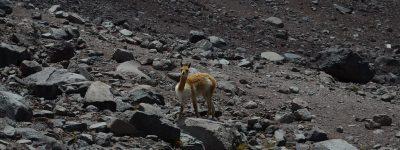 Une vigogne croisée entre les deux refuges du Chimborazo.