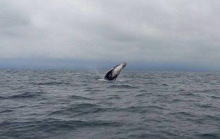 Une baleine nous gratifie d'un saut à quelques mètres de notre embarcation.